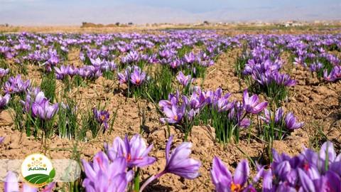 شیوه صحیح مصرف کود دامی در زراعت زعفران
