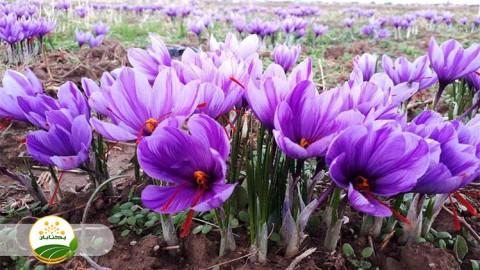 مناسب ترین زمان مصرف کود های فسفره و پتاسه در زراعت زعفران