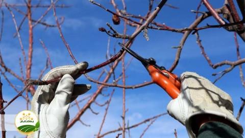نکات ضروری هرس درختان میوه