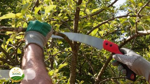 مناسب ترین فرم تربیت درختان میوه هسته دار