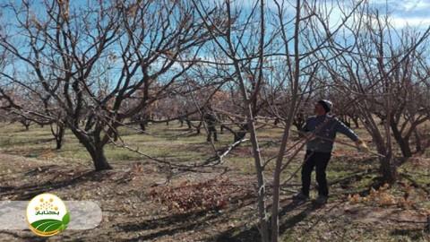 مراحل انجام هرس درختان میوه