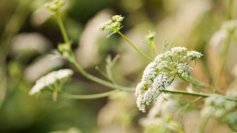 بیماری سفیدک سطحی زیره سبز و کنترل آن