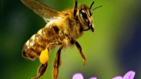 دانستنی هایی در مورد زنبور عسل