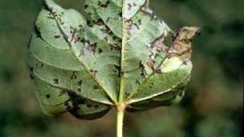 چه-گیاهانی-میزبان-بلایت-باکتریایی-هستند