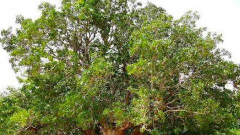 کهن ترین درخت پسته در جهان