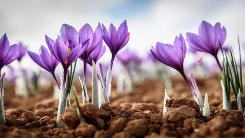 زمان مصرف کود نیتروژن در زراعت زعفران