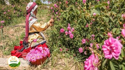 جایگاه تولید و صنعت گل محمدی