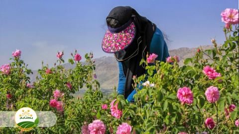 اصول کشت و ویژگی های رشدی گل محمدی
