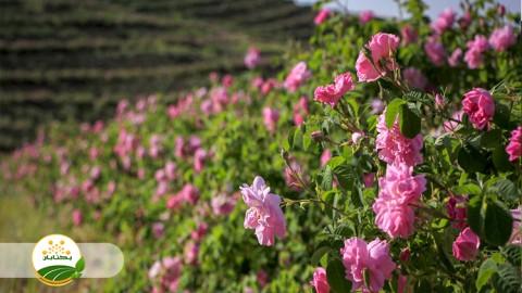 هرس گل محمدی