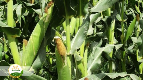 وضعیت محصولات علوفه ای در سال جاری با توجه به شرایط آب و هوایی