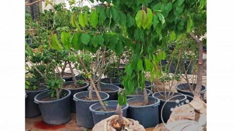 نهال گلدانی و درخت روتبالی ۶و۷سال طلای سبز گوارشکی