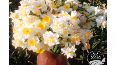 پیاز گل نرگس عمده وخرده